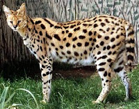 S-animal-serval, S for serval images