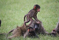 O-animal-Olive-Baboon, o for Olive-Baboon pictures