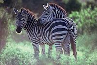 Z-animal-Zebra, Z for Zebra photos, animals pictures, a-Z animals wallpapers