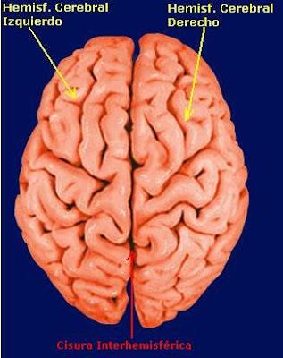 partes del cerebro y sus funciones pdf