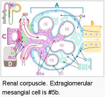 Extraglomerular Mesangial Cells Extraglomerular Mesang...
