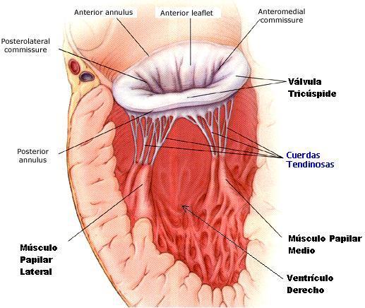 Aficionados a la Medicina FacMed y otras cosas... :P: Corazón