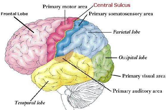 centralsulcus1, Human Body