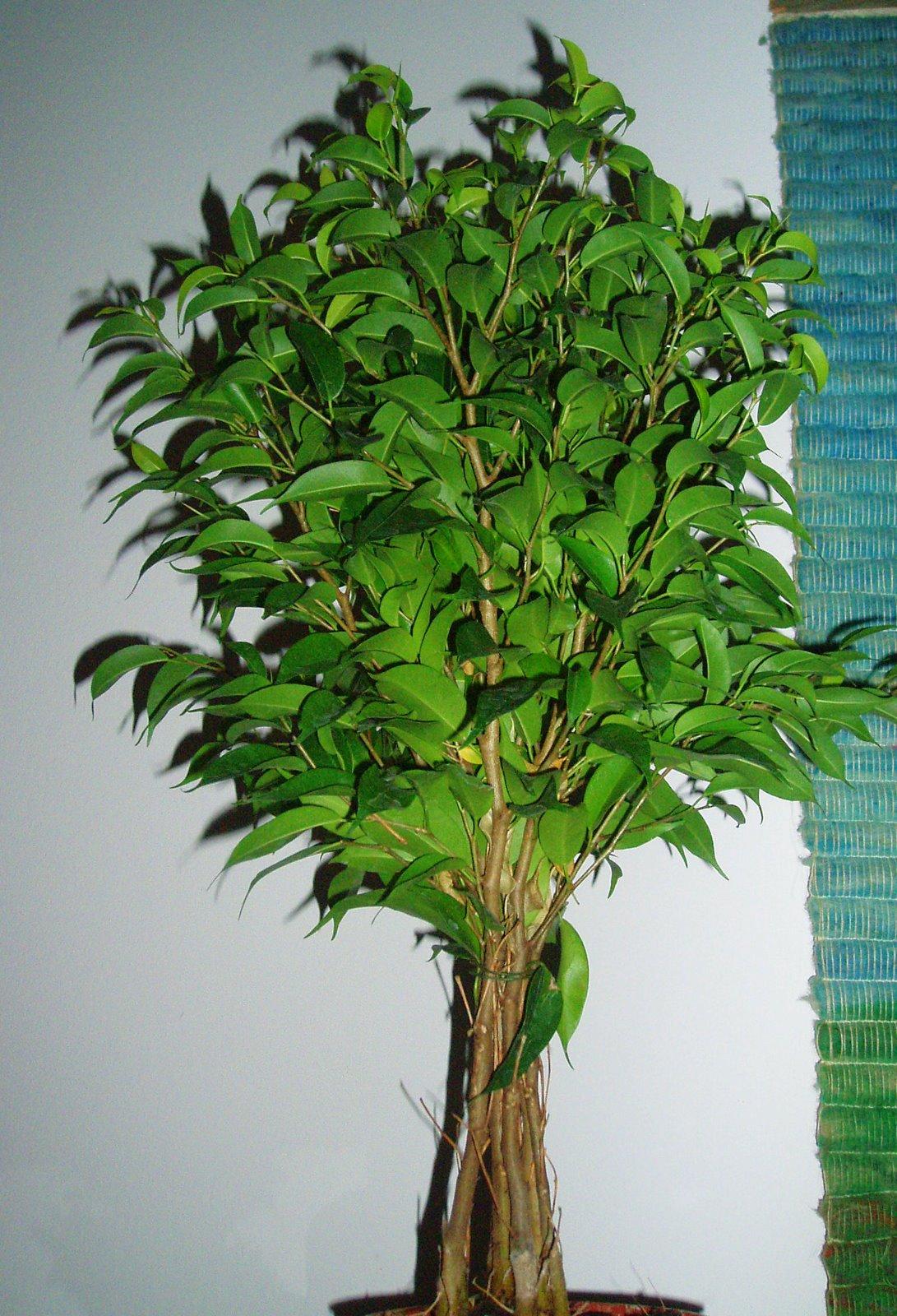 Panelaolume novembro 2009 - Ficus benjamina precio ...