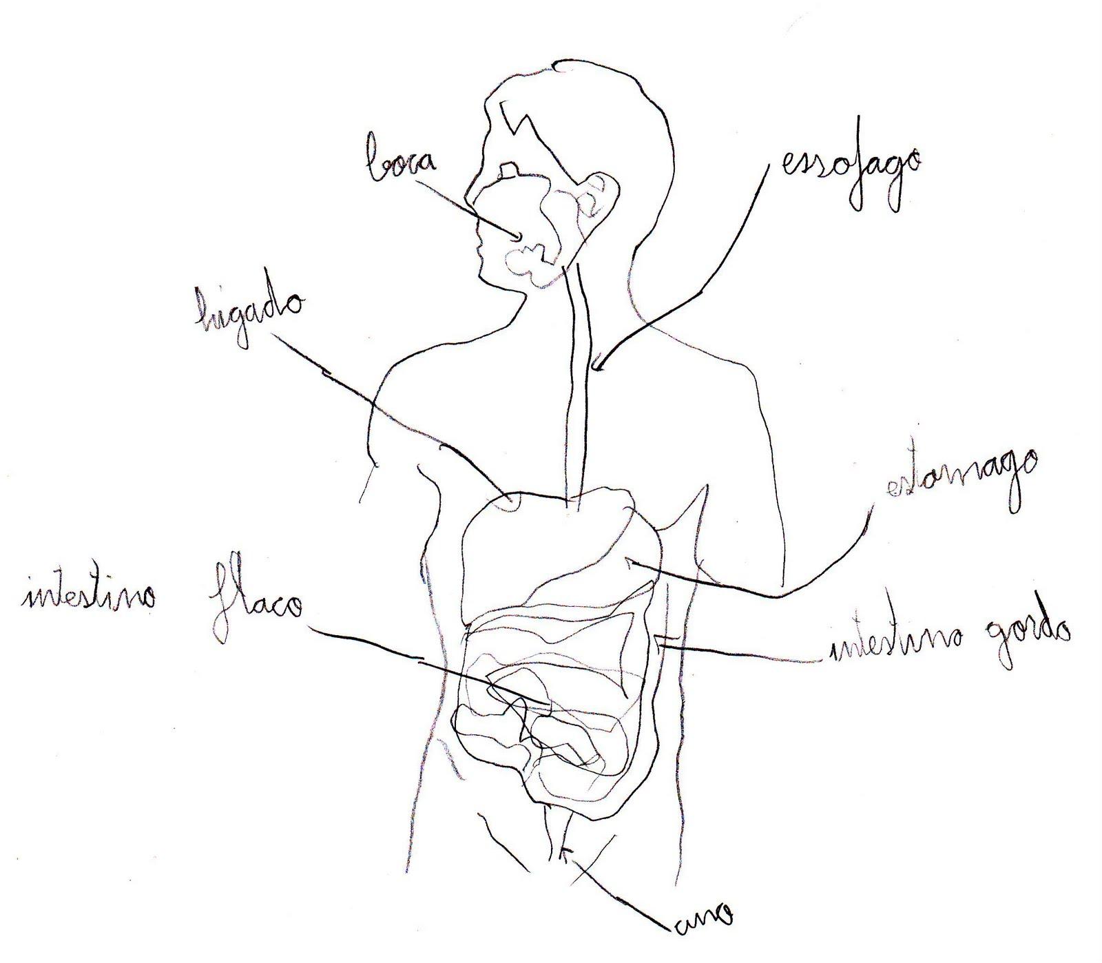 ÁNGEL: Dibujo el aparato digestivo humano.