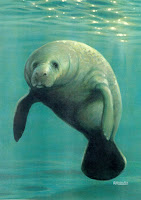 picture of a manatee from www.country.com.br/vi/tag/Manatee