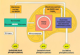 Wa chapter 9 cellular respiration harvesting chemical energy this diagram shows the whole cellular respiration it also shows when each atp is produced and shows that glycolysis occurs in the cytoplasm ccuart Gallery