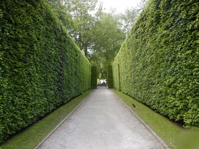 In privacy screens or windbreaks are commonly allowed to grow