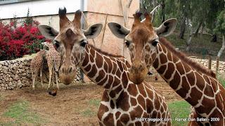 Жирафы в парке сафари Рамат Ган, Израиль