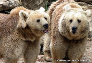 Медведи в парке сафари Рамат Ган, Израиль