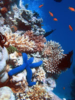 Blue Linckia Starfish