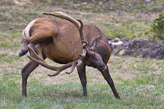answers the question -- why do elk have such long antlers??!!
