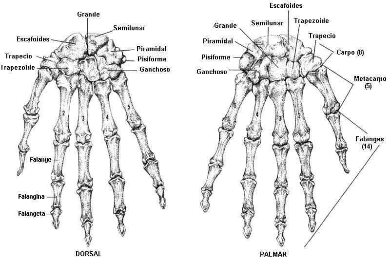 La vida del deportista Huesos de la mano