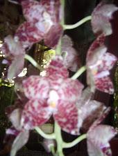 Bunga Phalaenopsis Gigantea