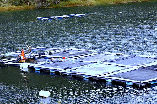 Agro crianza de truchas de gran calidad se convierte en for Jaulas flotantes para piscicultura
