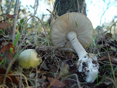 Amanita phalloides