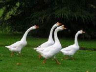 Wild Goose Chase!!