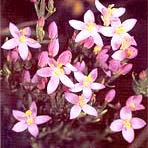 Florais de Bach On-Line