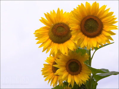 sunflowers wallpaper. Sunflowers Wallpaper by