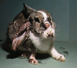 Myxomatosis Effects Of The Disease | RM.