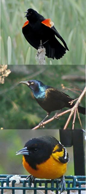 black birds in illinois