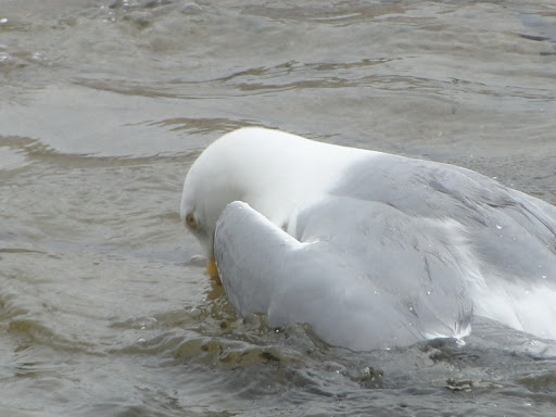 Tails Of Birding The Herring Gull As A Symbol