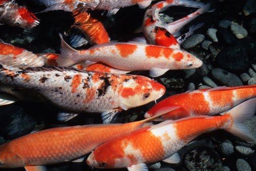 Facts around us koi carp fish colorful koi fish for Koi fish photos