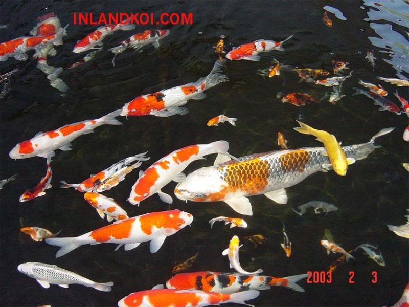 Amaze pics vids koi fish or japanese carp for Japanese koi carp