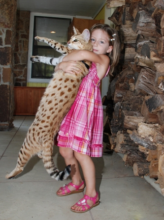"The Largest Domestic Cat ""Savannah Cat"""