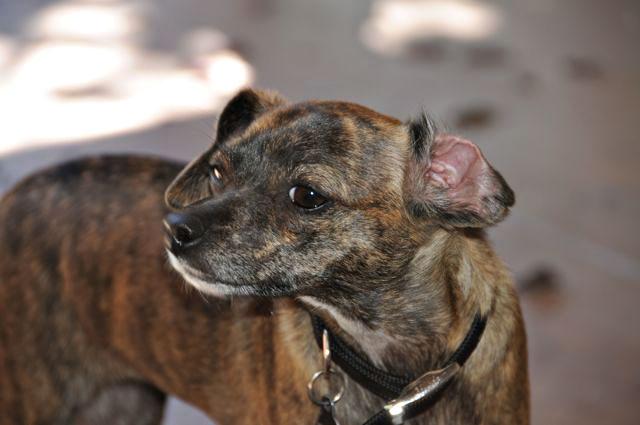 Twinkie Tiny Dog   Teacup Chihuahua   A Dog Blog