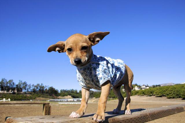 twinkie tiny dog teacup chihuahua a dog blog dec 9 2010. Black Bedroom Furniture Sets. Home Design Ideas