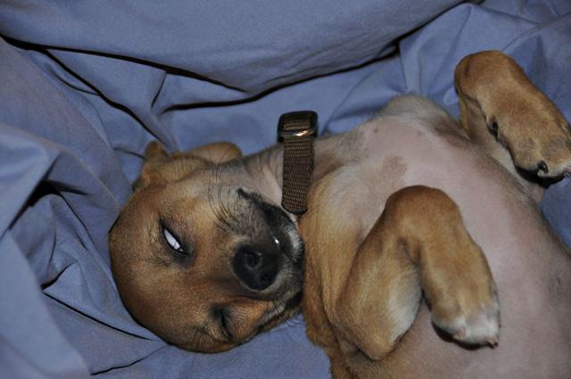 twinkie tiny dog teacup chihuahua a dog blog jan 6 2011. Black Bedroom Furniture Sets. Home Design Ideas