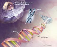 partes de ADN