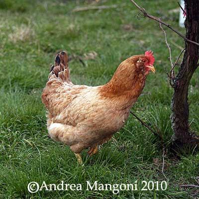 Gallina di razza Boffa. Foto di Andrea Mangoni.