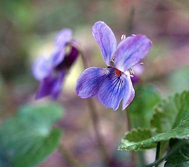 Viola canina. Foto di Andrea Mangoni.