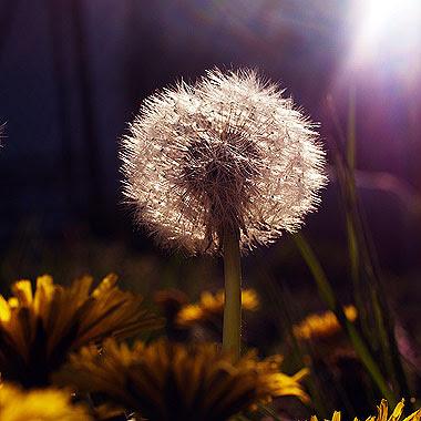 Il capolino pieno di semi di un tarassaco (Taraxacum officinale). Foto di Andrea Mangoni.