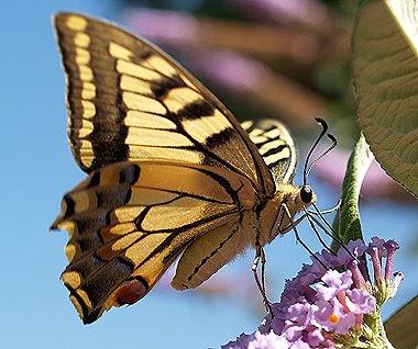Una femmina di macaone (Papilio machaon) si trattiene sui fiori di buddleja. Foto di Andrea Mangoni.
