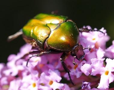 una cetonia della specie Potosia cuprea approfitta anch'essa dei fiori della Buddleja. Foto di Andrea Mangoni.