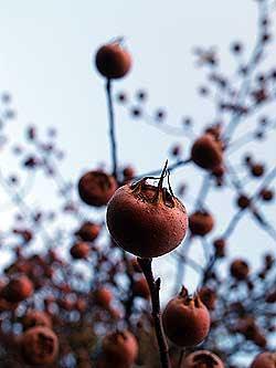 I frutti del nespolo sono ricchissimi in tannini.