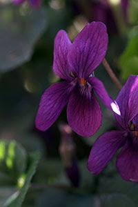Il colore intenso e vellutato di una viola. Foto di Andrea Mangoni.