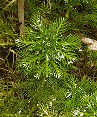 Le foglie finemente laciniate di Hottonia palustris servono da riparo a innumerevoli creature acquatiche. Foto di Andrea Mangoni.
