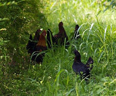 Gruppo di Polli nani tra l'erba. Foto di Andrea Mangoni.