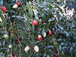 i frutti, sia maturi che immaturi, di un albero di giuggiole. Foto di Andrea Mangoni.