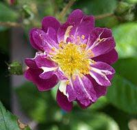 Il fiore della veilchenblau. Foto di Andrea Mangoni.