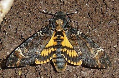 Esemplare adulto di Acherontia atropos. Foto tratta da www.wikipedia.org.
