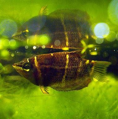 giovane esemplare di Sphaerichthys osphromenoides. Foto di Andrea Mangoni.