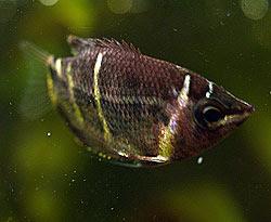 Sphaerichthys osphromenoides. Foto di Andrea Mangoni.