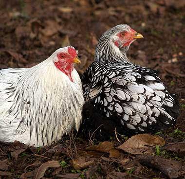 Gallo Twentsee e gallina Wiandotte. Foto di Andrea Mangoni.
