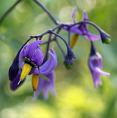 Solanum dulcamara. Foto di Andrea Mangoni.