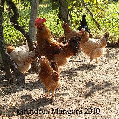Galline, gallo e pollastrelli di Boffa. Foto di Andrea Mangoni.